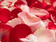 De mooie Rode Achtergrond van het Bloemblaadje van Rozen stock foto