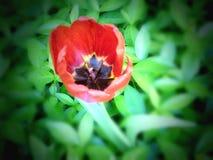 De mooie rode bloem in een bed van groen doorbladert stock foto