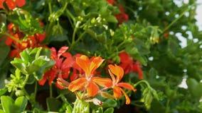 De mooie rode bloem op groene bladachtergrond, sluit omhoog mening stock videobeelden