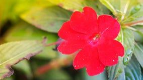 De mooie rode bloem van Nieuw-Guinea Impatiens Royalty-vrije Stock Fotografie
