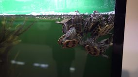 De mooie rode eared vijverschuiven zwemt in aquarium stock videobeelden