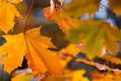 De mooie rode geeloranje achtergrond van de herfstbladeren Stock Afbeeldingen