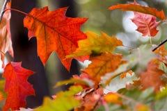 De mooie rode geeloranje achtergrond van de herfstbladeren Royalty-vrije Stock Foto