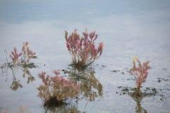 De mooie rode kleurenbladeren van overzees blite planten in overzeese kust nat l Royalty-vrije Stock Foto