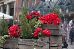 De mooie rode poinsettia van de Kerstmisbloem als Kerstmissymbool het hangen op markt in Europa Royalty-vrije Stock Foto's