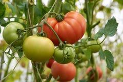 De mooie rode rijpe tomaten groeien in een serre royalty-vrije stock fotografie