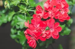 De mooie rode of roze bloemen van de Geraniumooievaarsbek in de tuin met zachte lichte en groene installaties als achtergrond, sl Stock Foto