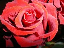 De mooie rode thee nam dicht omhoog bloeiend toe royalty-vrije stock afbeeldingen