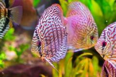 De mooie rode turkooise discusvis in close-up met 2 andere discus vist op de achtergrond, een tropische cichlidvis van stock afbeeldingen