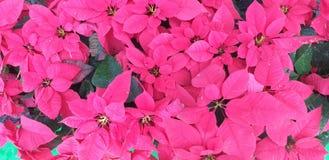 De mooie roze bloem stock afbeeldingen