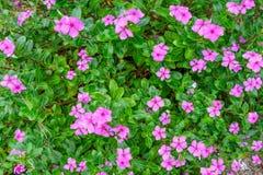 De mooie roze bloem van de de lentetuin Stock Foto's