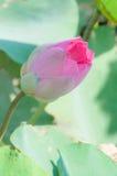 De mooie roze bloem van de knoplotusbloem Royalty-vrije Stock Afbeeldingen