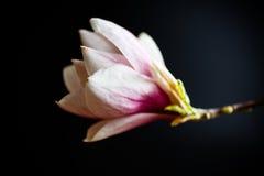 De mooie Roze Bloem van de Magnolia Stock Afbeelding