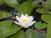 De mooie roze bloem van de waterlelielotusbloem in vijver groene bladeren Royalty-vrije Stock Foto's