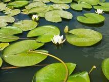 De mooie roze bloem van de waterlelielotusbloem in vijver groene bladeren Stock Afbeeldingen