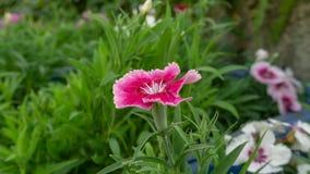 De mooie roze bloemblaadjes die van Dianthus-bloem op groene bladeren bloeien, weten als andere namen Indisch roze, het roze van  royalty-vrije stock afbeelding