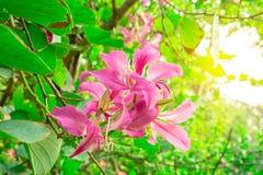 De mooie roze bloemblaadjes van Purpere die Bauhinia-Orchideeboom bij het onduidelijke beeld betrekt achtergrond, als de Orchidee stock foto