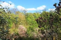 De mooie Roze Bloemen van de Magnolia Stock Afbeelding