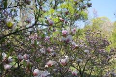 De mooie Roze Bloemen van de Magnolia Royalty-vrije Stock Foto