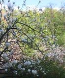 De mooie Roze Bloemen van de Magnolia Royalty-vrije Stock Fotografie