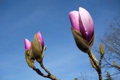 De mooie Roze Bloemen van de Magnolia Royalty-vrije Stock Foto's