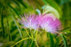 De mooie roze bloemen van de powderpuffboom Stock Foto's
