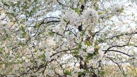 De mooie roze bloemrijke fruitboom onder een blauwe hemel in de lente met heel wat purple bloeit het blazen in de warme wind van stock video