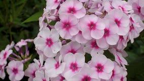 De mooie roze close-up van de floxbloeiwijze Roze bloemen van een Bush-close-up 4K stock video