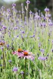 De mooie roze en purpere achtergrond van het bloemgebied stock foto