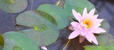De mooie roze en witte lotusbloembloesem uit prachtig, kan aan andere werken worden toegeschreven stock foto