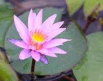 De mooie roze en witte lotusbloembloesem uit prachtig, kan aan andere werken worden toegeschreven stock fotografie