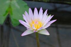 De mooie roze en witte lotusbloembloesem uit prachtig, kan aan andere werken worden toegeschreven stock afbeelding
