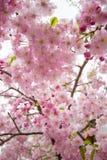 De mooie roze kers komt bij Sumida-park, Taito -taito-ku, Tokyo, Japan in de lente tot bloei stock afbeelding