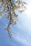 De mooie roze lente bloeit magnolia op een boomtak Stock Fotografie