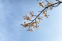 De mooie roze lente bloeit magnolia op een boomtak Stock Foto