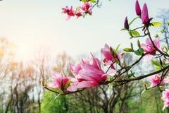 De mooie roze lente bloeit magnolia op een boomtak Stock Afbeelding