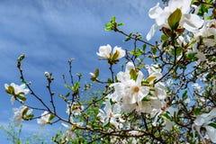 De mooie roze lente bloeit magnolia op een boomtak Royalty-vrije Stock Afbeeldingen