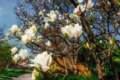 De mooie roze lente bloeit magnolia op een boomtak Stock Afbeeldingen