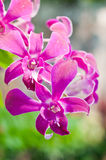 De mooie roze orchideebloem Stock Fotografie