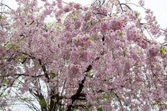 De mooie roze ShidarezakuraWeeping-Kers komt op de Nicchu-Lijn, Kitakata, Fukushima, Tohoku, Japan tot bloei stock afbeeldingen