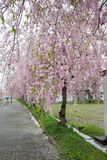 De mooie roze ShidarezakuraWeeping-Kers komt op de Nicchu-Lijn, Kitakata, Fukushima, Tohoku, Japan tot bloei royalty-vrije stock foto