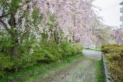 De mooie roze ShidarezakuraWeeping-Kers komt op de Nicchu-Lijn, Kitakata, Fukushima, Tohoku, Japan tot bloei stock foto's