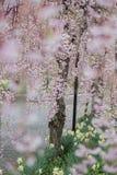 De mooie roze ShidarezakuraWeeping-Kers komt op de Nicchu-Lijn, Kitakata, Fukushima, Tohoku, Japan tot bloei royalty-vrije stock fotografie