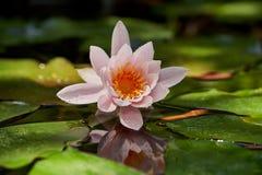 De mooie roze waterlelie of de lotusbloem bloeit in een vijver met achtergrond van groene bladeren in zonlicht Perfecte aardachte stock afbeeldingen
