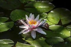 De mooie roze waterlelie of de lotusbloem bloeit met bloemblaadjes met waterdalingen of dauw De Oranje Zonsondergang van de Nymph royalty-vrije stock fotografie