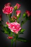 De mooie rozen sluiten omhoog Royalty-vrije Stock Fotografie
