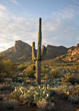 De mooie Saguaro woestijn van cactusSonoran Royalty-vrije Stock Afbeelding