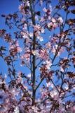 De mooie sakurabloemen bloeiden tegen een heldere blauwe hemel stock foto