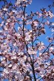 De mooie sakurabloemen bloeiden tegen een heldere blauwe hemel royalty-vrije stock foto's