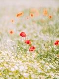 De mooie samenstelling van de papavers onder kleine witte bloemen op het gebied Royalty-vrije Stock Afbeeldingen